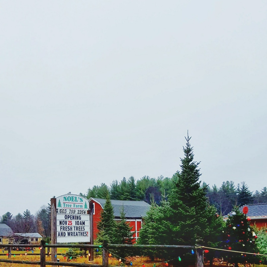 Photo 5: Christmas tree farm in Litchfield, NH