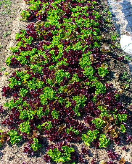 Artisans Lettuces - The Farmers Dinner Generation Farm