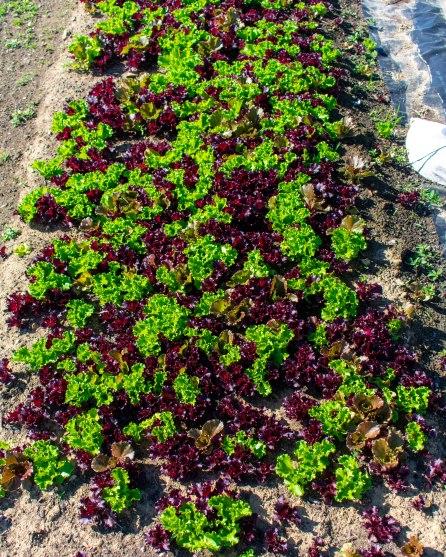 Artisans Lettuces - The Farmers Dinner Generation Farm