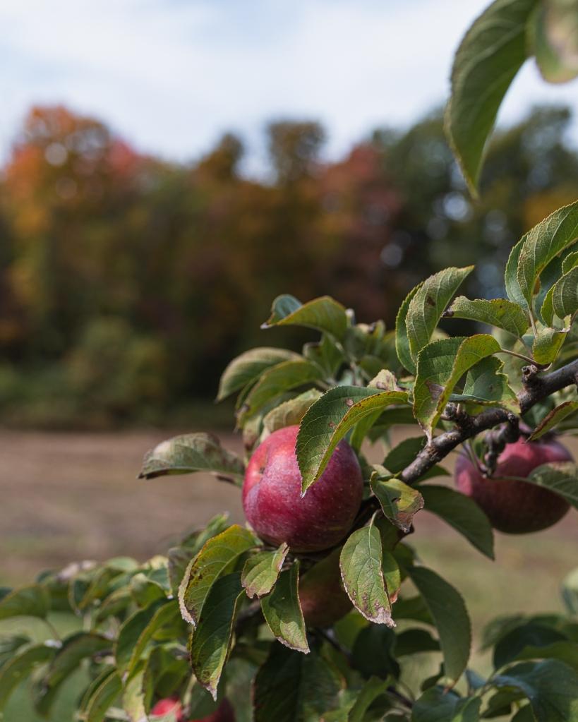 Fall fun in Massachusetts, Fall Must-do's, apple picking